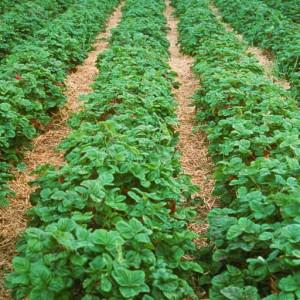 плантация клубники