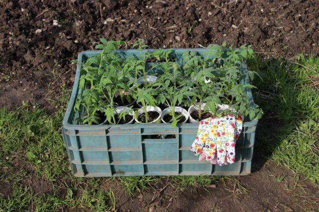 рассада томатов перед высадкой