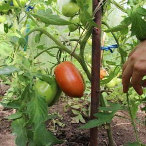плоды томатов на ветке