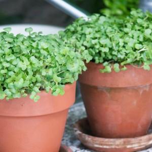 выращивание кресс салата на подоконнике
