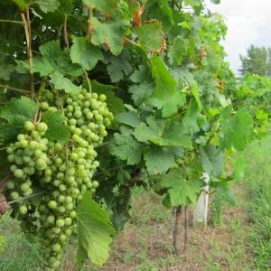 посадка винограда на Урале