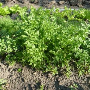 быстрорастущие овощи
