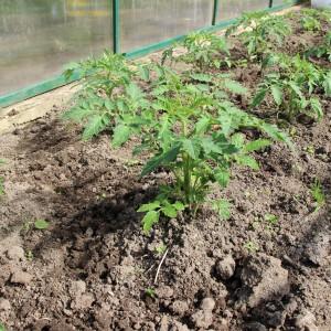 томаты и огурцы в одной теплице