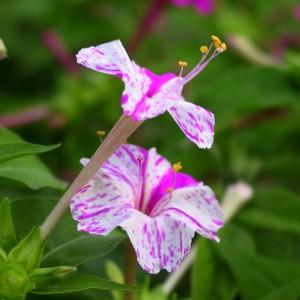 мирабилис цветок
