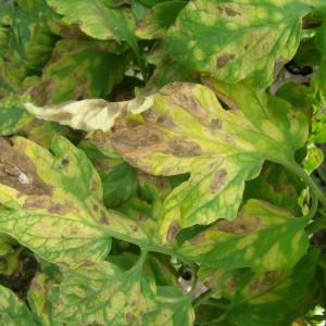 кладоспориоз на томатных листьях