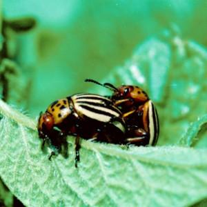 польза колорадского жука