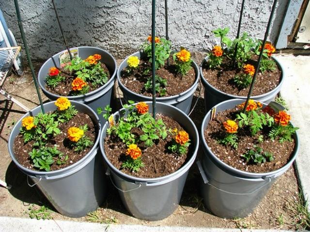 штамбовые сорта томатов в вёдрах