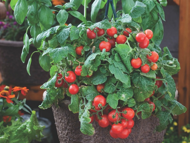 штамбовый куст томата с плодами