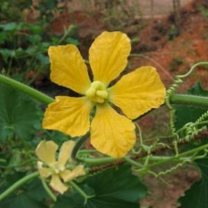 цветок восковой тыквы бенинказы