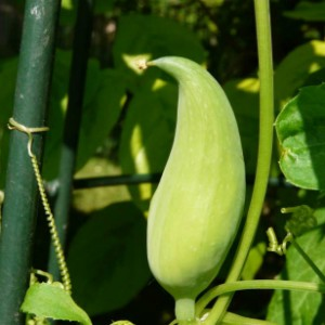 плод циклантеры