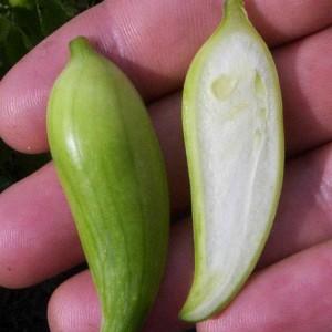 плод циклантеры в разрезе