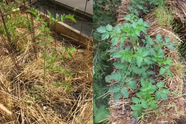 томаты растут на соломенных тюках