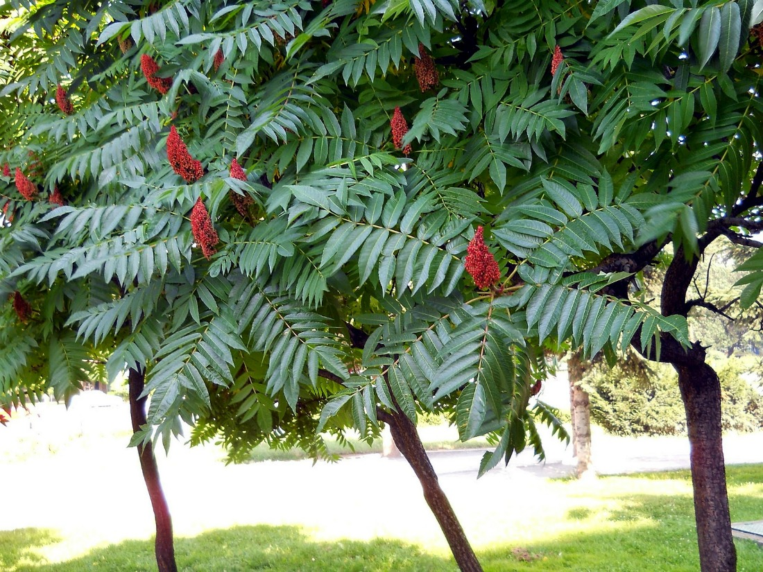 Уксусное дерево фото и описание применение