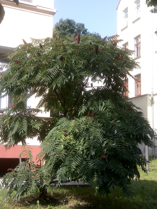 уксусное дерево сумах