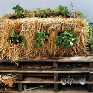 выращивание клубники на соломе