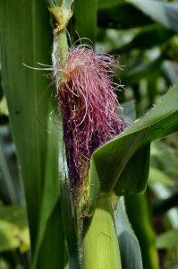 кукуруза цветёт