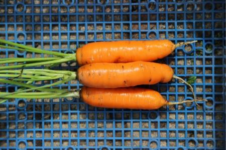 морковь на хранение
