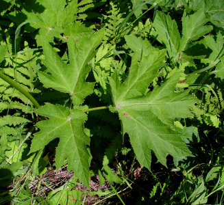 листья борщевика