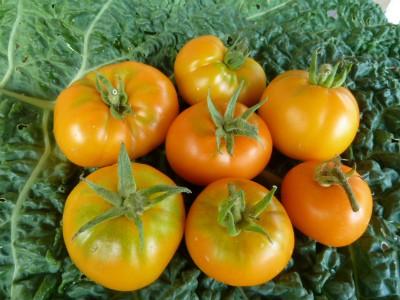 томаты сорта Апельсин