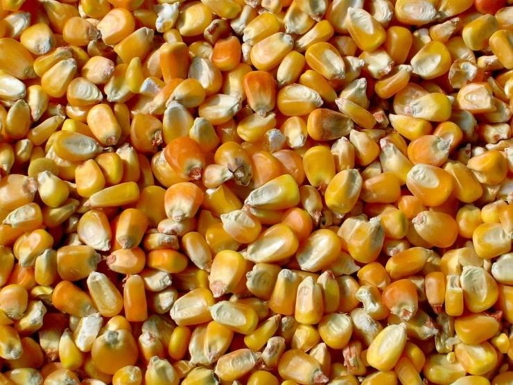зёрна кукурузы