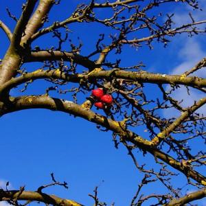 Яблоня в ноябре