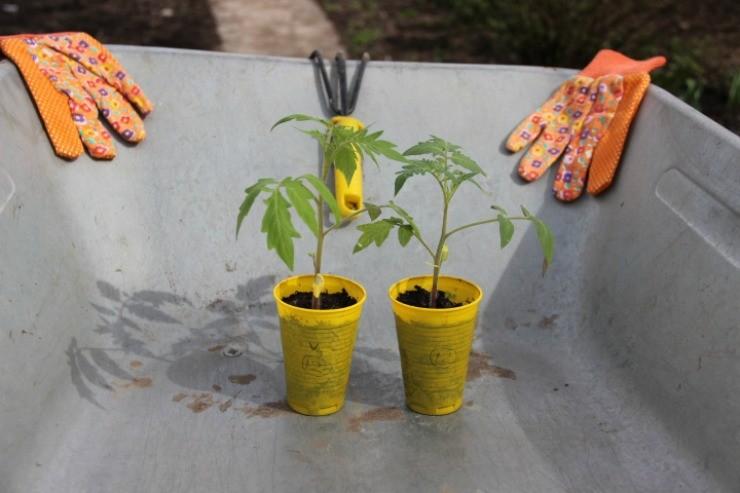 выращивание рассады с Атлетом