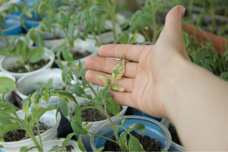 листья рассады томатов с желтизной