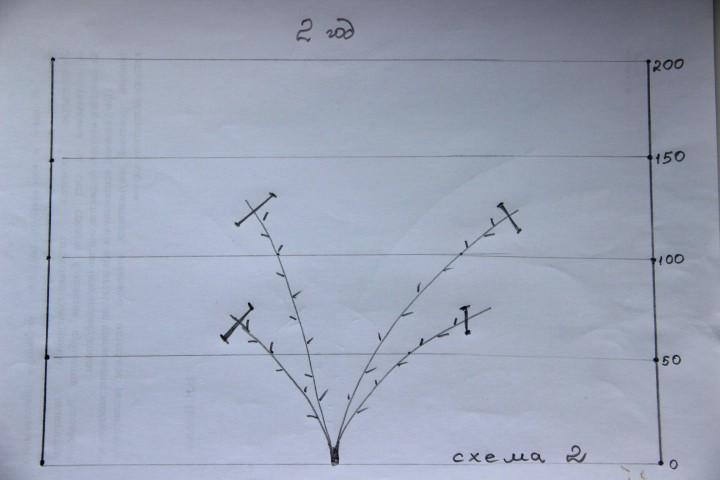 схема обрезки винограда на второй год