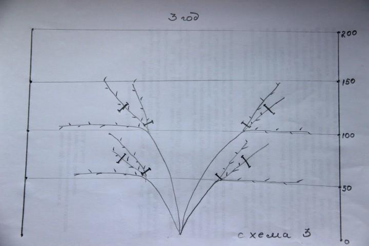схема обрезки винограда на третий год