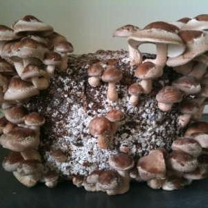 грибы шиитаке на чурбаке
