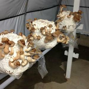 грибы шиитаке на блоках