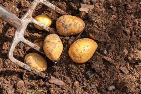 наш урожай картошки