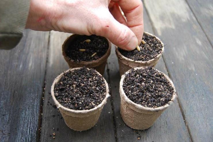 посев семян огурцов в горшочки