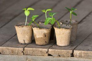 как подготовить семена огурцов к посадке