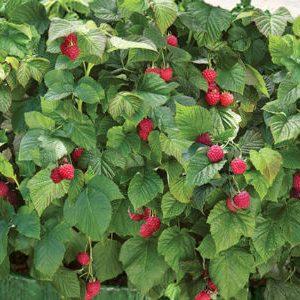 кусты с ягодами ремонтантной малины