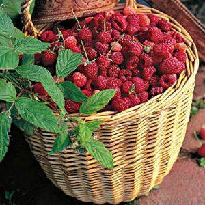 урожай ремонтантной малины