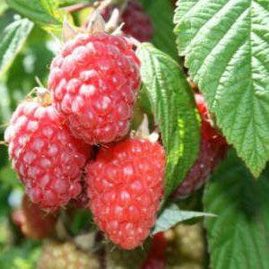 ягоды ремонтантной малины