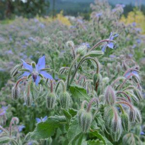выращивание бораго