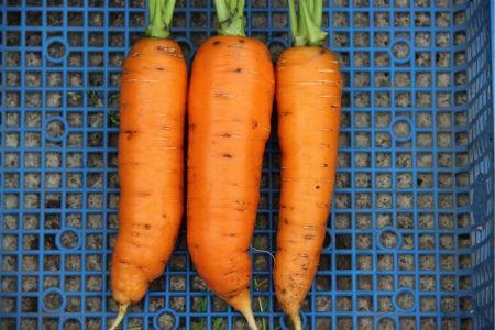 морковь сорта Балтимор