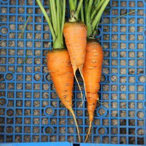 морковь сорта Флаккоро