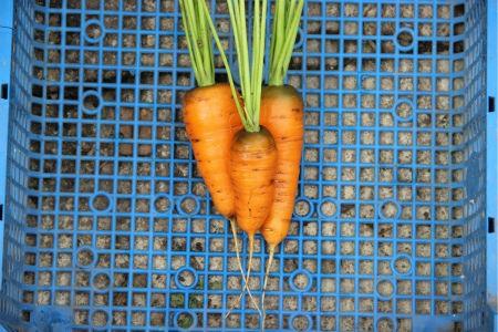 морковь сорта Канада
