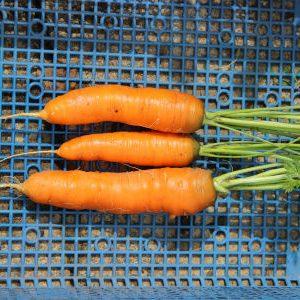 морковь сорта Карлена