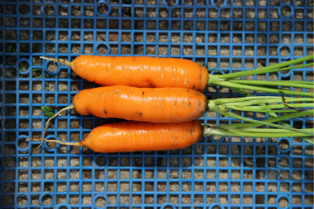 морковь сорта Каротин супер