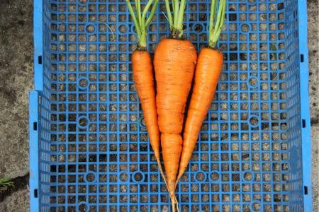 морковь сорта Лакомка