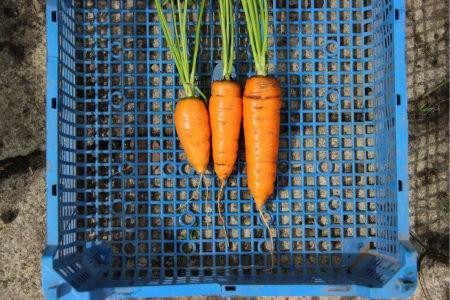 морковь сорта Лонге Роте
