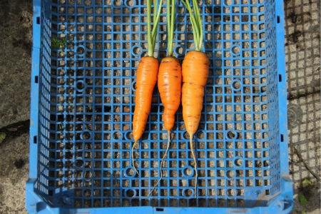 морковь сорта Наполи