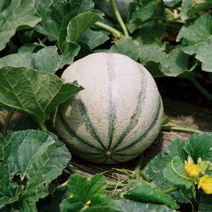 плод дыни на грядке