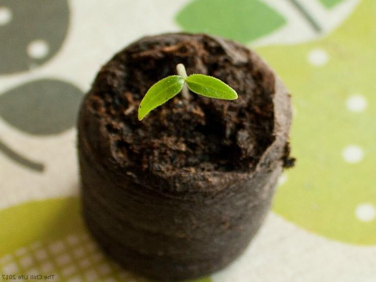 росток перца в торфяной таблетке