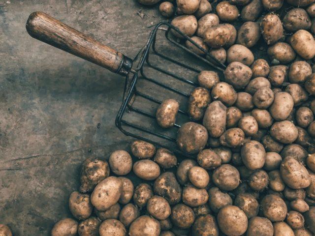 урожай картошки под соломой
