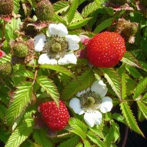 ягоды и цветы земмалины